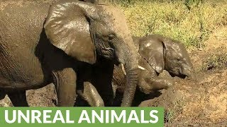 Young elephant shows determination to escape muddy riverbank