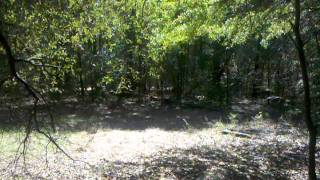 Training Treeing Walker Coon Hound Part 1
