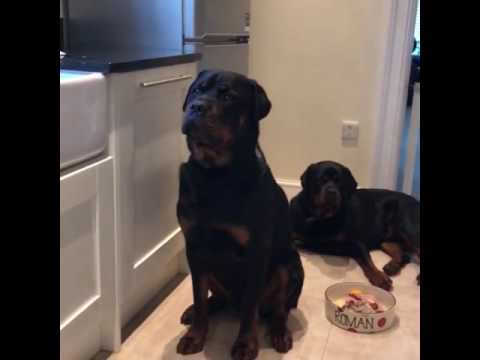 wow:-rottweiler-dogs-are-so-obedient-during-feeding