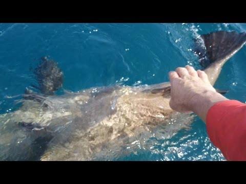 Giant Goliath Grouper in Stuart Florida