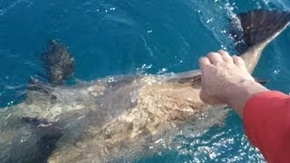 Giant Goliath Grouper in Stuart Florida
