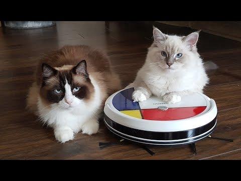 Ragdoll Cats vs. VANiGO Robot Vacuum Cleaner  (funny)