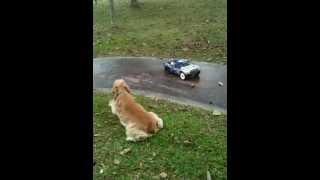 American Mix English Cocker Spaniel Puppy Chasing Remote Control Car Cs10