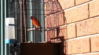 red siskin x canary hybrid singing
