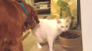 Golden Retriever Not Happy With Vincent The Cat Eating Her Food