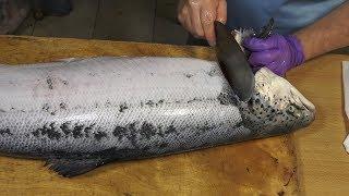 Salmon Cutting Skills 鮭魚切割技能   How to Cut a Salmon for Sashimi
