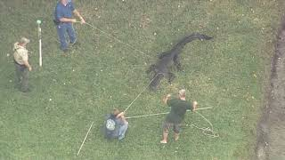 Gator captured after attacking a man in Florida