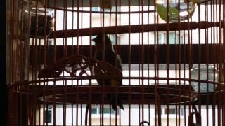 Hybrid Siskin x Canary ~ 混种燕~~☆°•○☆°•○