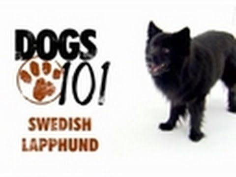 Dogs 101 - Swedish Lapphund