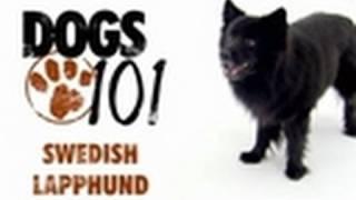 Dogs 101  Swedish Lapphund