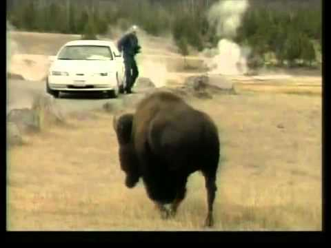 MA man gored by bison in Yellowstone National Park