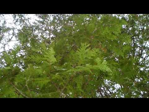 cedar sacred herbal medicine