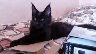 Черный мейн кун Эдди - фото