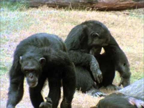 CHIMPS FAMILY 1 2)