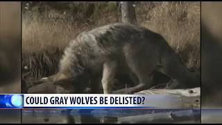 Trump Admin Seeking To Delist Gray Wolves From The Endangered Species List