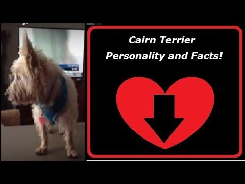 Cairn Terrier Personality, Facts and Information