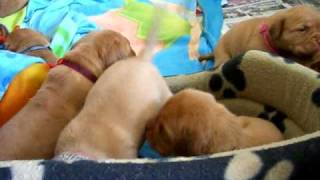Its Playtime! Dogue De Bordeaux Puppies 3 Weeks +