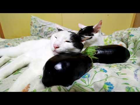 米ナスを枕にする猫 200927