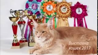 Выставка кошек 2017. Большой мейн кун играет.