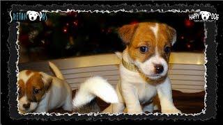 Jack Russell štenci/Jack Russell WELPEN - Jack Russell Puppies/Jack Russel/Jack Russell Terrier Dog2