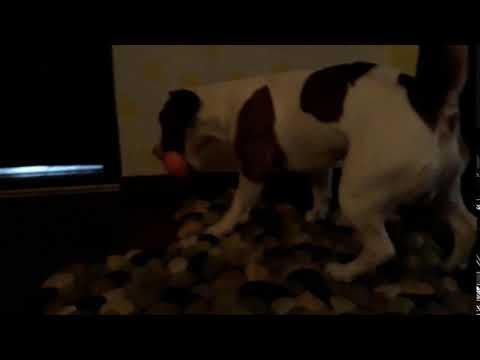 Dog steals an orange, then pees himself