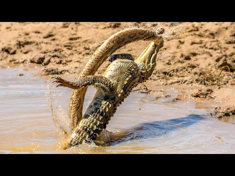 Крокодил в деле. Версус, крокодил против кабана, антилопы, зебры. Битвы животных.