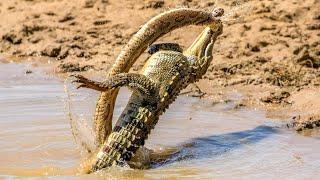 КРОКОДИЛ В ДЕЛЕ. Нападение крокодила на кабана, антилопу, зебру. Рептилия в дикой природе