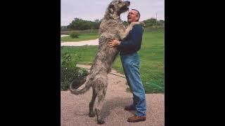 IRISH WOLFHOUND FACTS IN TAMIL | WORLD TALLEST DOG BREED | MIRUGAM PAATHI MIRUGAMUM MEETHI