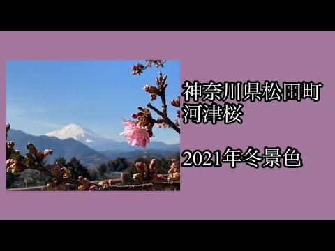 松田 町 河津 桜 2020