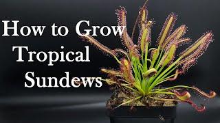 Growing Carnivorous Plants E4: Tropical Sundews