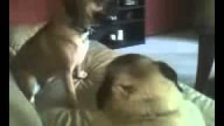 Pug Vs Puggle