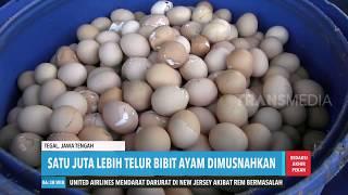 Jutaan Telur Ayam Dimusnahkan