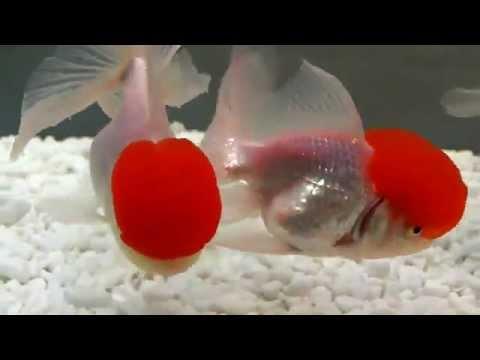 Gold Fish - Red Cap Oranda