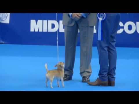 Midland Counties Canine Society 2016 Toy Groups Chihuahua
