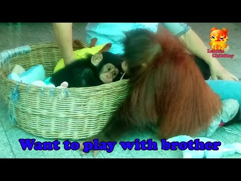 Orangutan want to play with baby chimpanzee