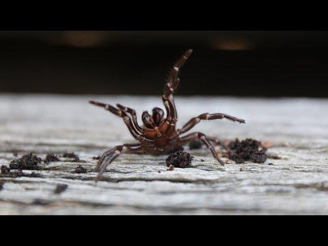 🚨WARNING! FUNNEL-WEB SEASON IS HERE! 🚨| The Australian Reptile Park