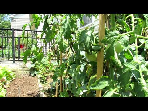 TRG 2012: Preventing Tomato Leaf Burn and Damage: FYI Baking