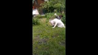 Собака играет с котятами)))