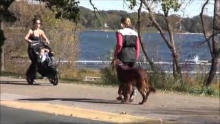Ruby (irish Setter) Boot Camp Dog Training Video