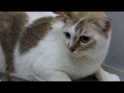 A 6-year-old Cat Has A Chronic Ear Infection 1/2 - Chronic Otitis Externa