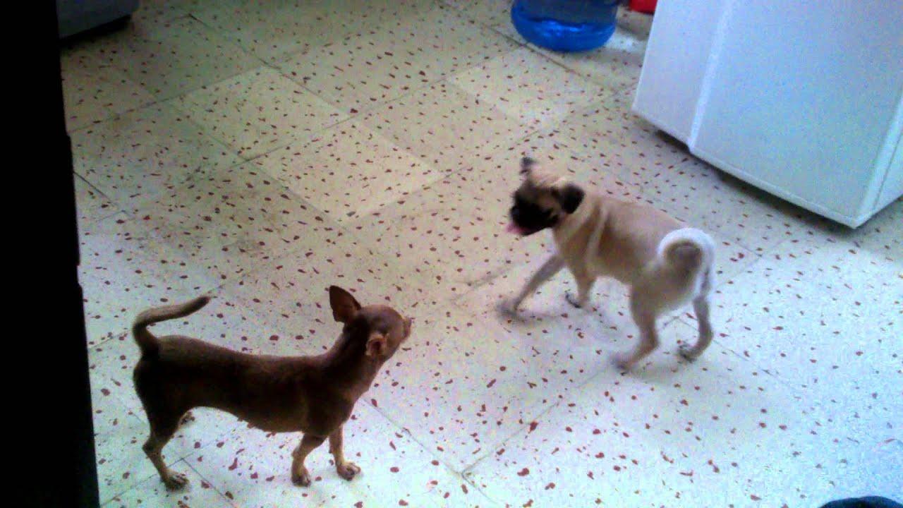 Pelea de perros pug & chihuahua - YouTube