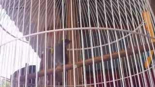 suara burung percang gunung Bengkulu