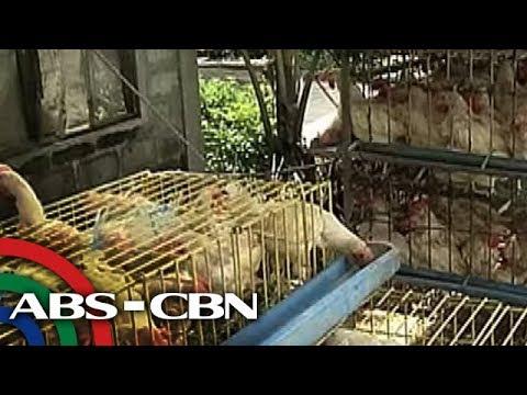 TV Patrol: 2 bayan sa Nueva Ecija na may bird flu, isinailalim sa 'state of calamity'
