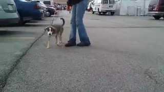 Topaz-3/20-beagle/australian Shepard Mix