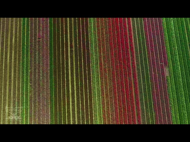 Take a Minute to Fly 06 - Flower field in the Netherlands