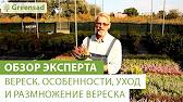 Эрика (erica) представляет собой травянистое (кустарниковое) вечнозеленое растение многочисленного семейства вересковые. Высота взрослого.