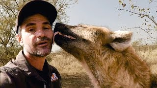 How Tough Are Hyenas The Lion Whisperer