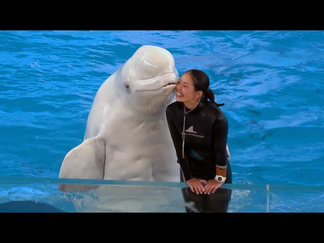 Beluga Whale Show At Yokohama Hakkeijima Sea Paradise 【4K】