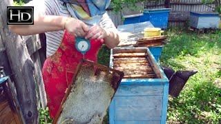 Пчеловодство ☆ Бывает и ТАКОЕ...(Пчеловодство. Бывает и такое. Рамка с медом весом 5,7 кг.. ☆ Другое видео о пчеловодстве: ♢ Массивы белой акац..., 2015-08-03T17:53:38.000Z)