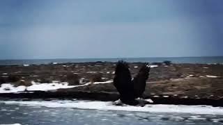Beautiful bald eagles soaring over the beach